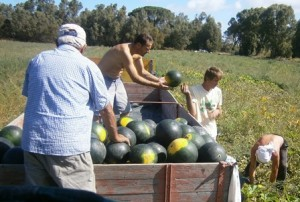 Harvesting water melons in Arborea
